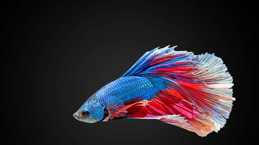 fighting-fish-wallpaper