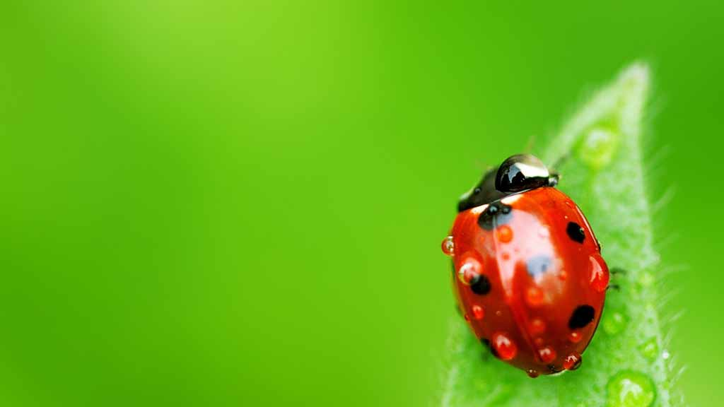 Ladybug | screenalicious :: แหล่งรวม wallpaper ภาพคมชัด