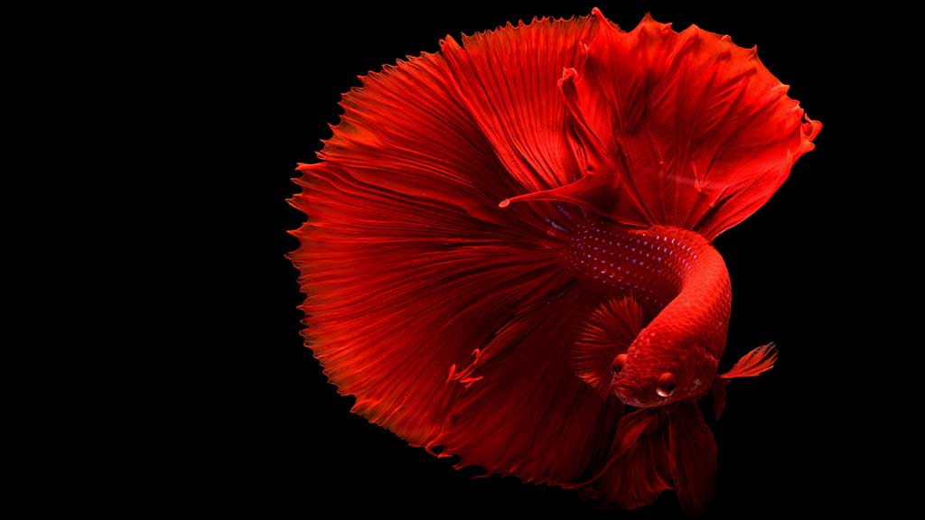 fighting-fish-wallpaper-pic